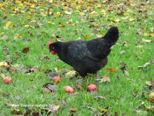 Barceló Hotel usará huevos de gallinas libres de jaulas