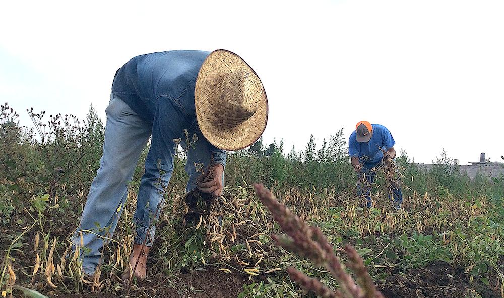 México sí desarrolla variedades de frijol y arroz: INIFAP
