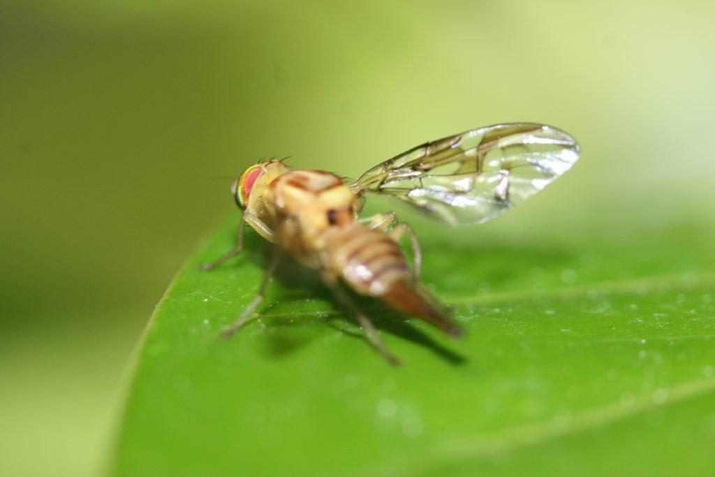Quedó libre la fruta de la mosca Anastrepha