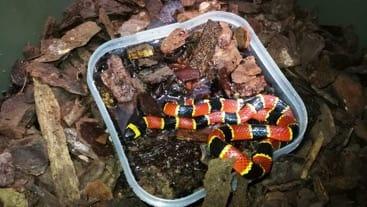 Profepa decomisa serpiente coralillo