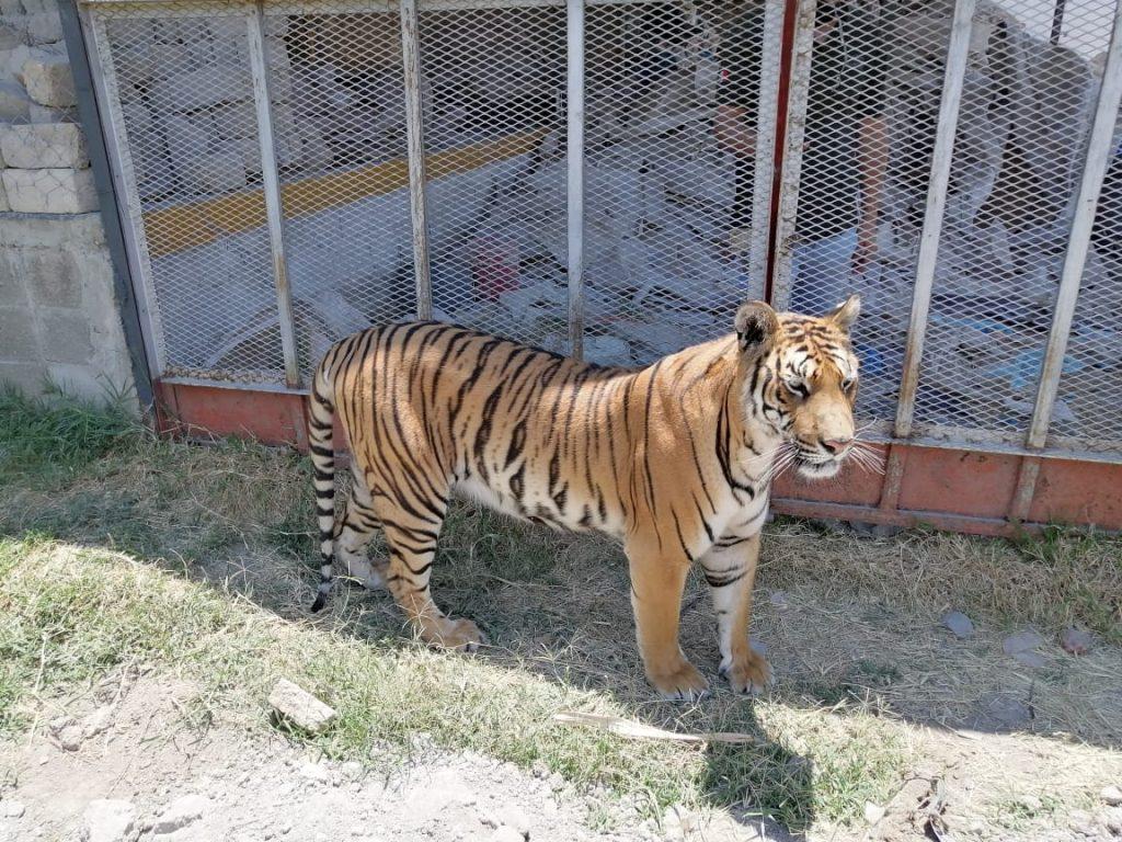 Profepa detectó que dos tigres no tenía legal procedencia