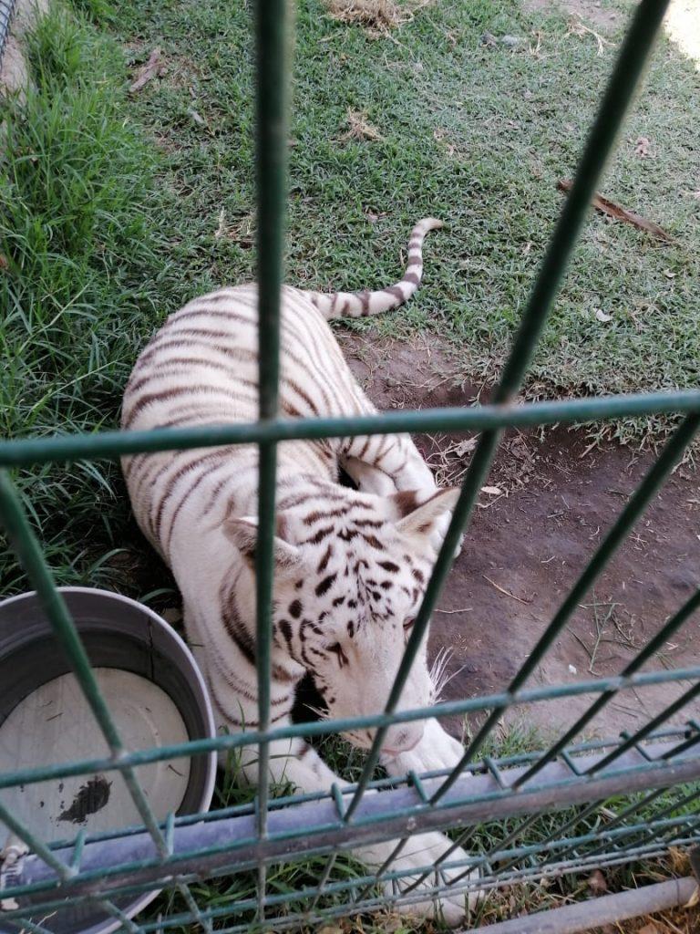 En las redes sociales, Profepa detectó a dos tigres