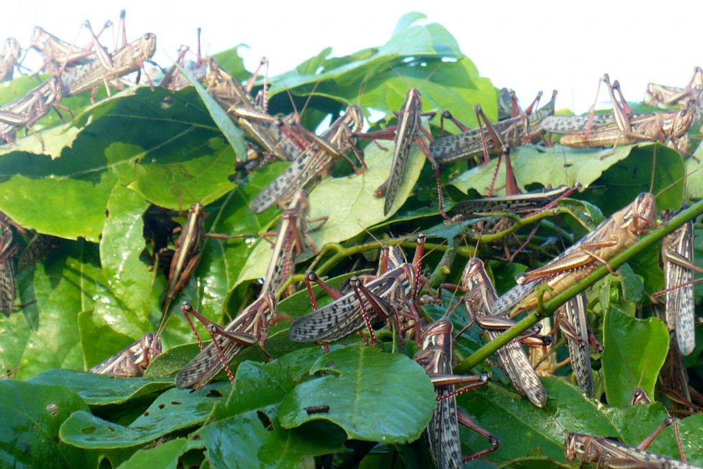 Destinan 25 millones de pesos para proteger cultivos de la langosta