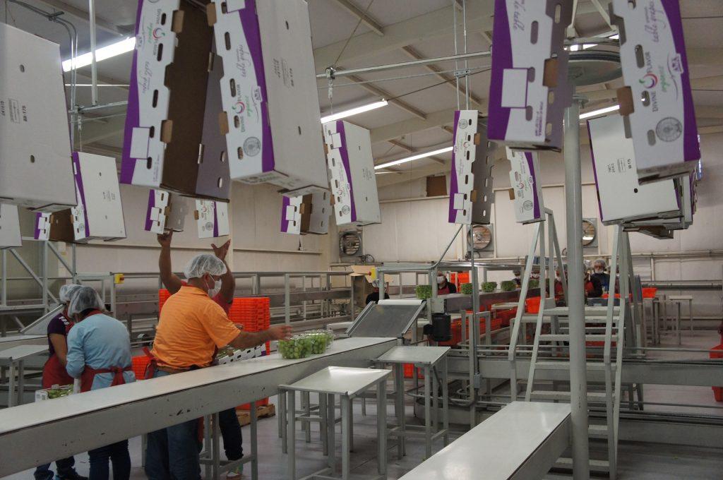 Inicia exportación de uva de Sonora a Corea del Sur