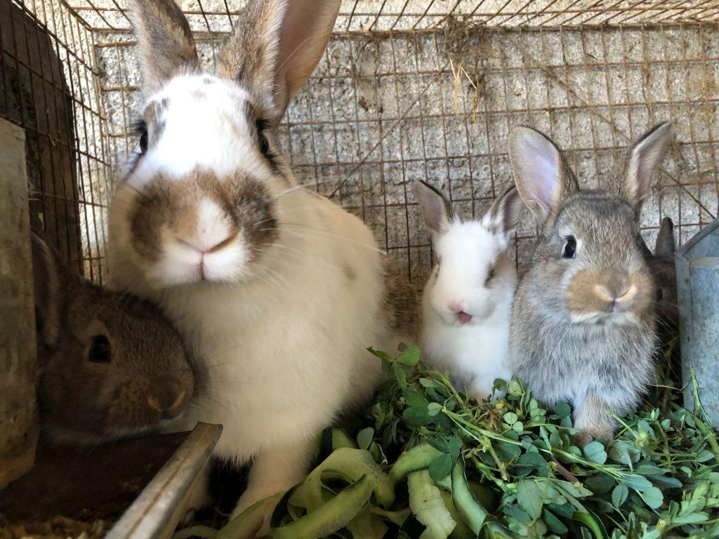 Activan Emergencia por Enfermedad Hemorrágica Viral de los Conejos