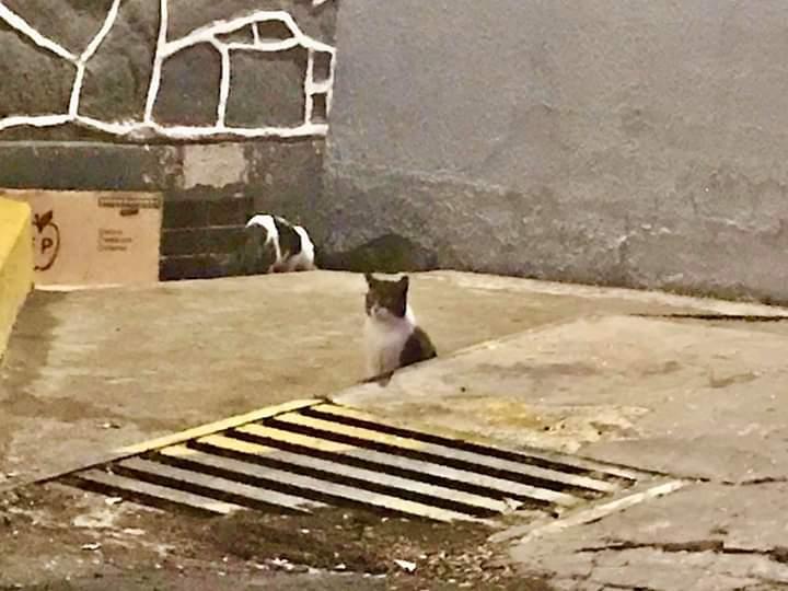 Piden ayudar a gatos que residen en alcantarillas de la Casa de Moneda