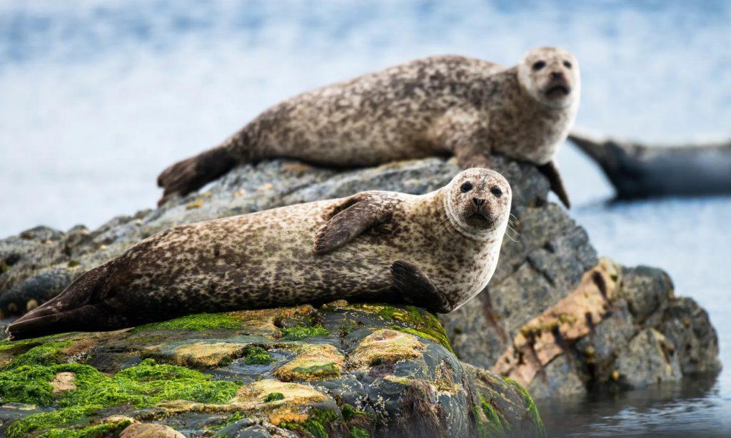 Escocia prohibirá que los productores de salmón maten a las focas