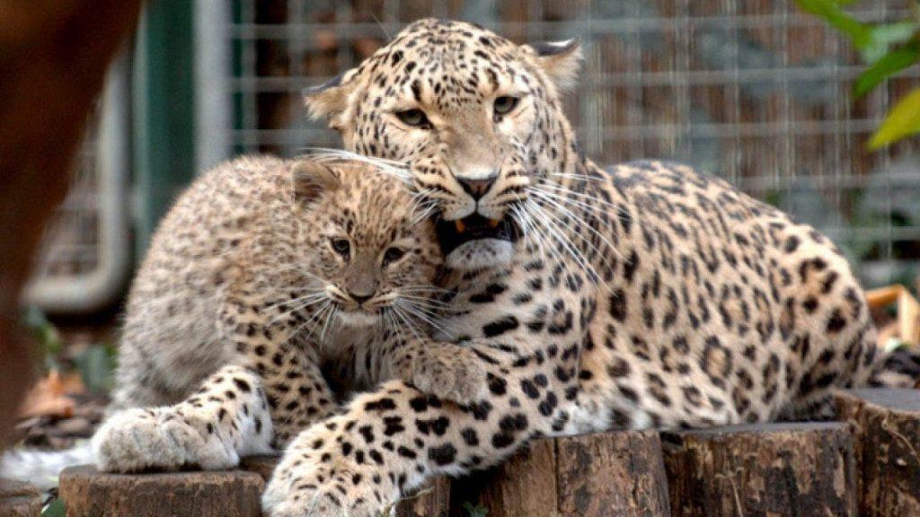 Última oportunidad para el majestuoso leopardo persa