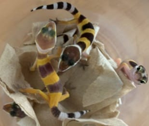 Emiten dictamen técnico por posesión ilegal de 32 reptiles en la ZMVM