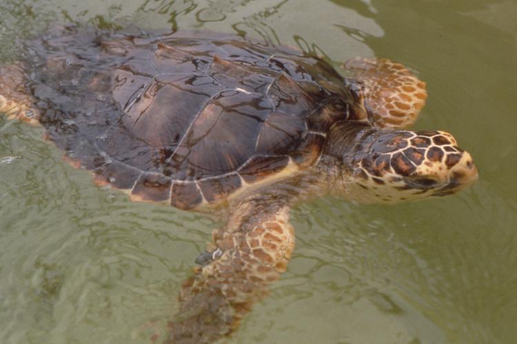 Miles de tortugas siguen muriendo en costas de BCS