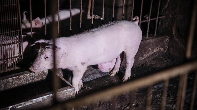 Ante gripe porcina en China, urgen a cambiar relación con animales