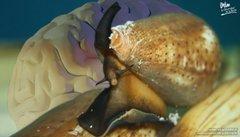 Estudian veneno de caracol para combatir dolor crónico