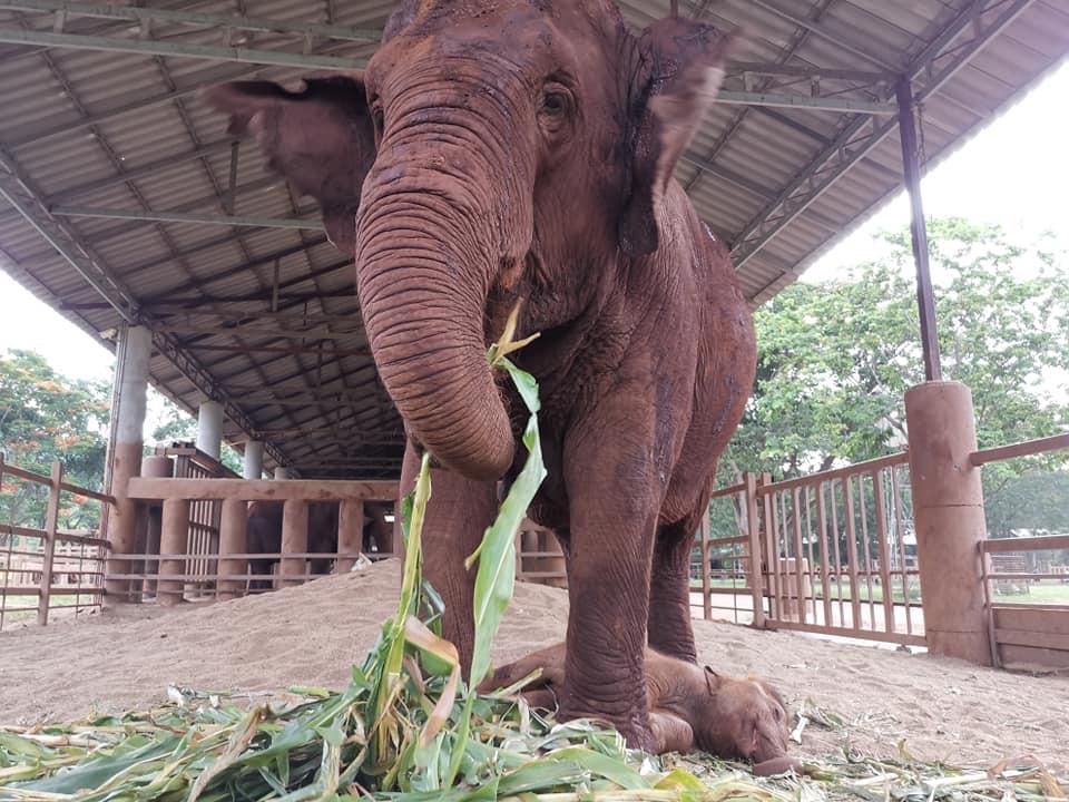 El Covid-19 acaba con el maltrato a elefantes en Tailandia