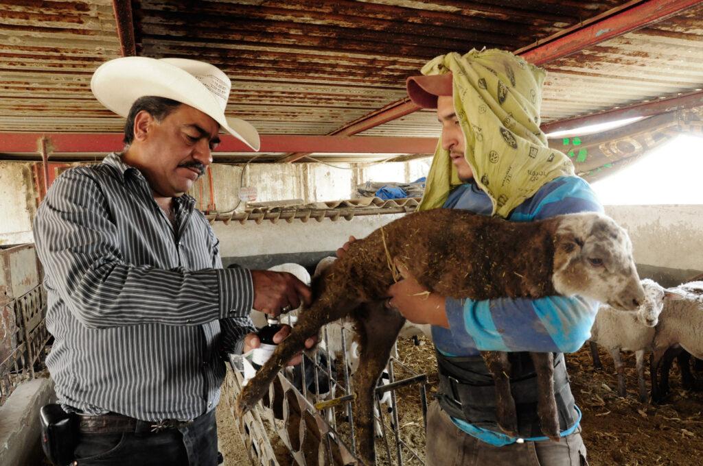 Vacunan contra la rabia a ganado en 26 estados del país