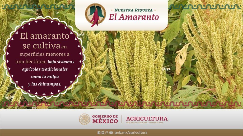 Aporta México 14 variedades de amaranto