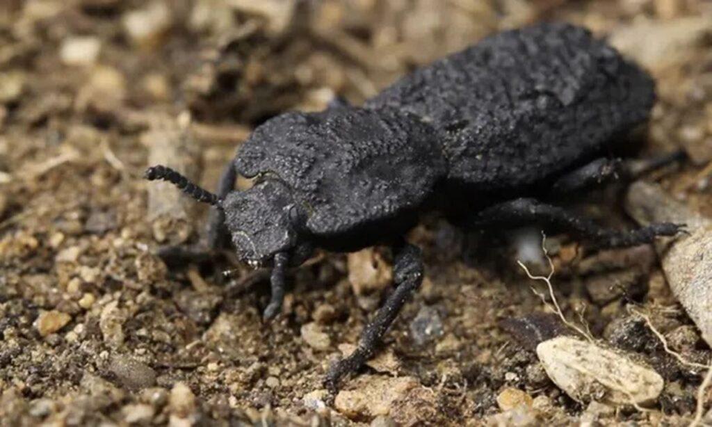 El escarabajo acorazado soporta 39.000 veces su peso