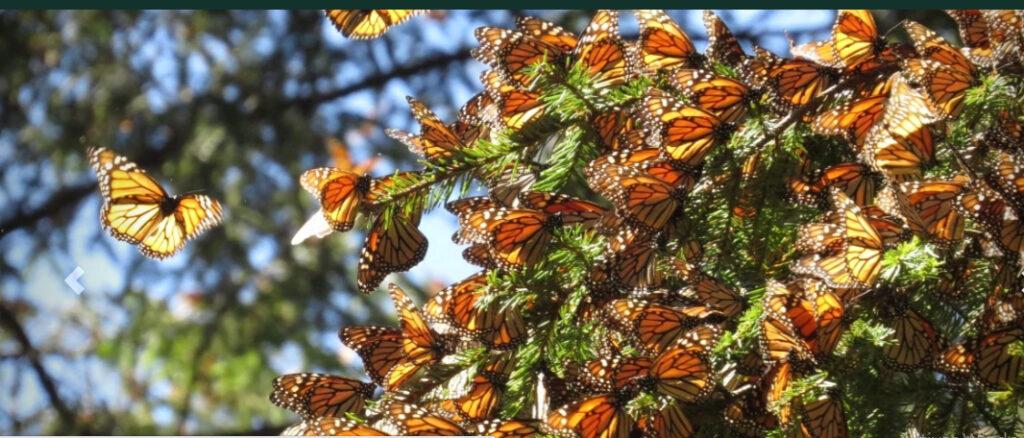 Llegan a México las primeras mariposas Monarca