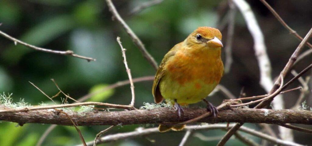 Pájaros de San Francisco recuperan su rango vocal