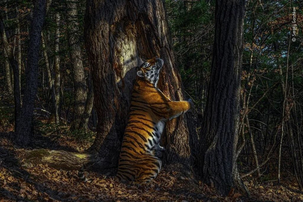 Tigresa abrazando un árbol: gana premio 2020
