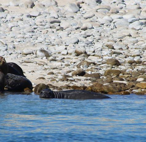 Avistan elefante marino en islas del Golfo de California