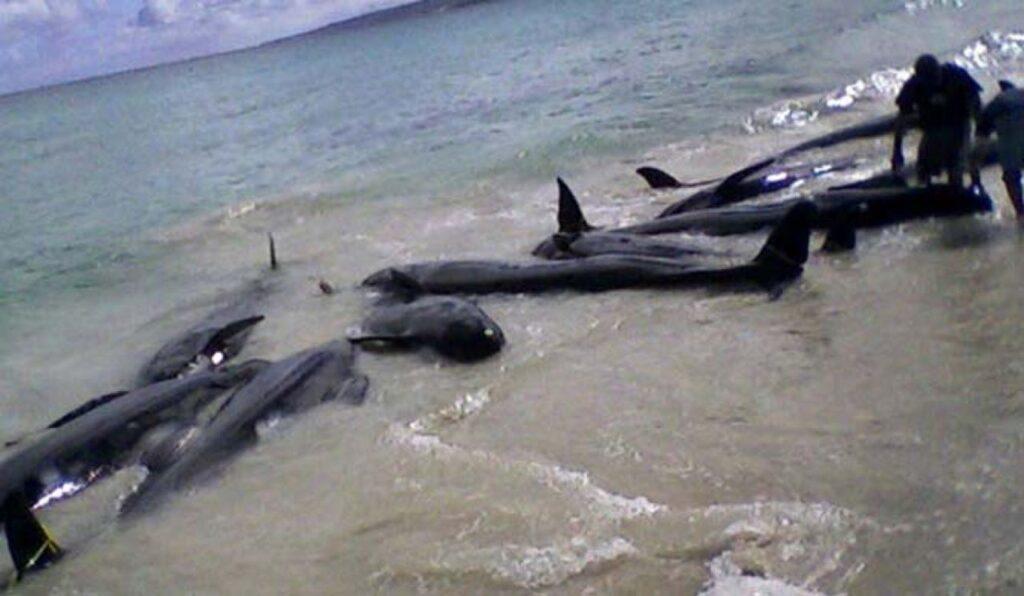 Sri Lanka rescata 120 ballenas de varamiento masivo