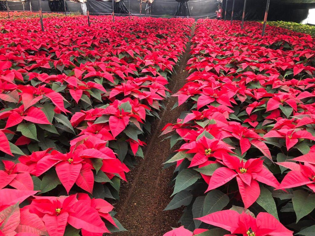 Un millón 571 mil Nochebuenas listas para esta Navidad
