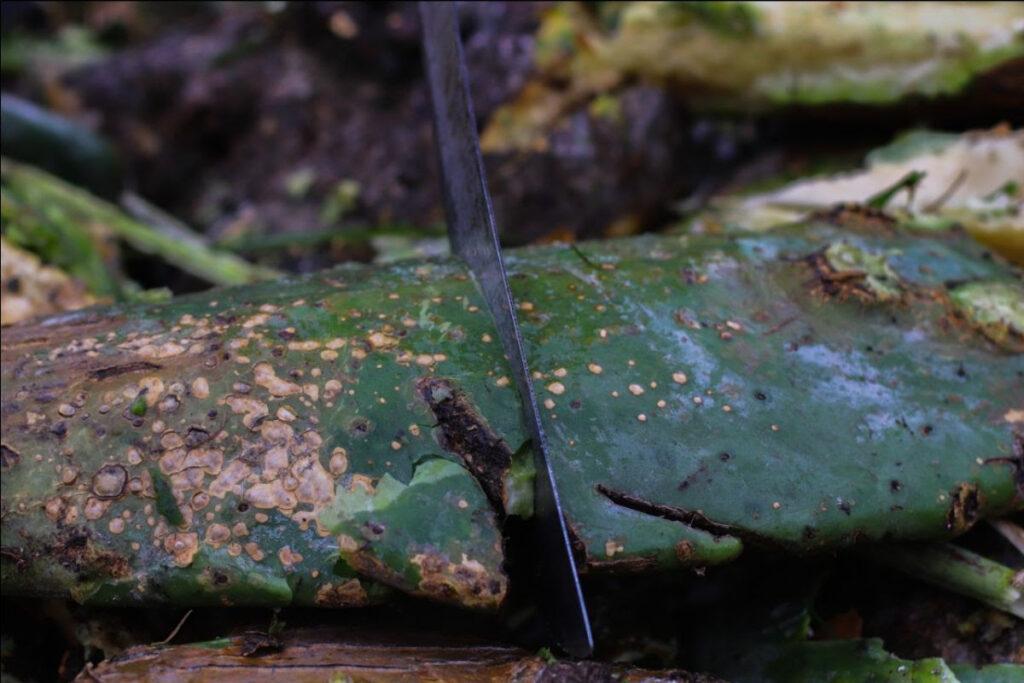 Combate Sedema mancha negra en parcelas de nopal