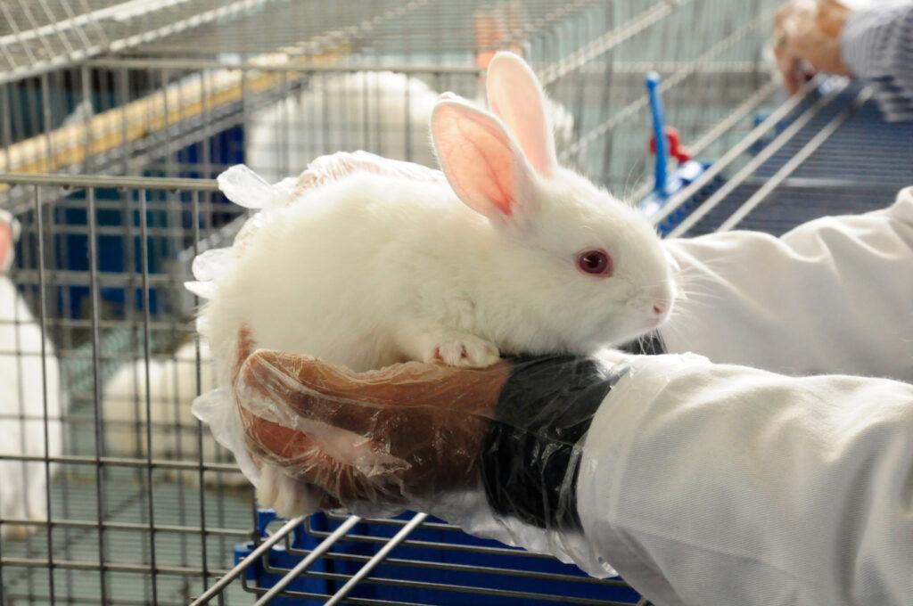 Vacunan conejos en zonas afectadas por enfermedad viral