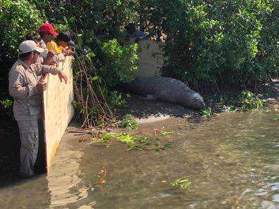 Atienden a elefante marino herido en Tonalá- Chiapas