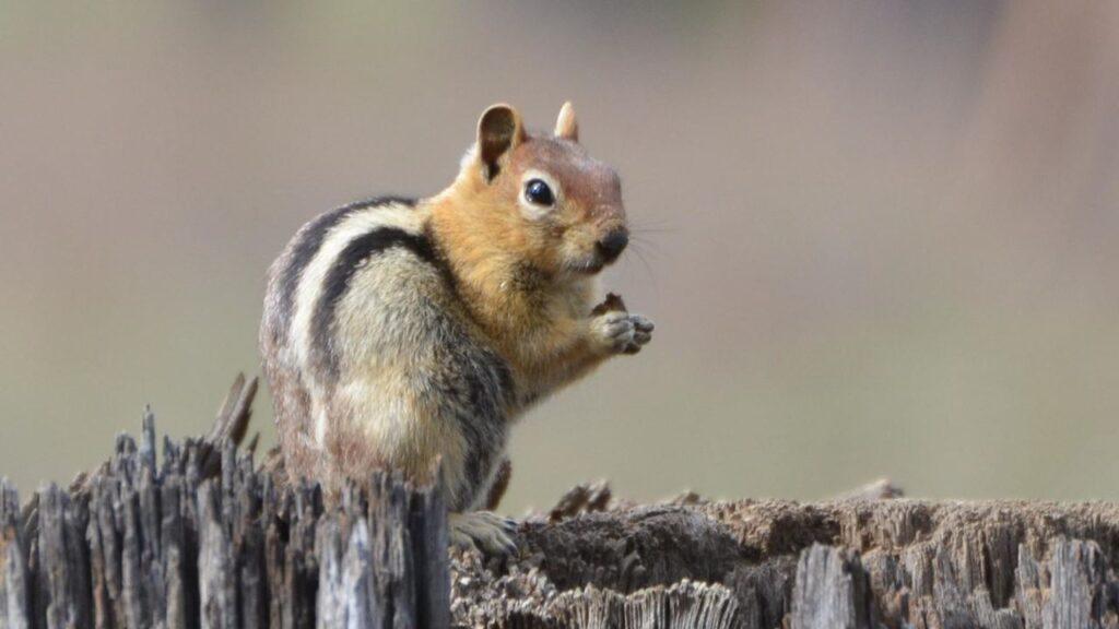 Ardillas se mudan más alto por aumento de temperaturas