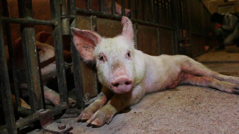 """Carne de cerdo """"de excelencia"""" proviene del maltrato"""