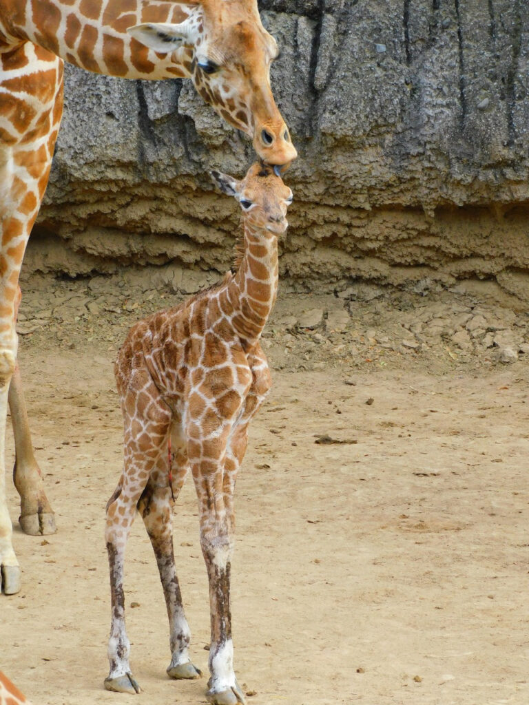Invitan a elegir nombre de la jirafa bebé de Chapultepec