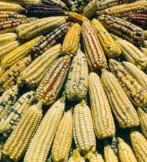 Admiten siembras genéticamente modificadas