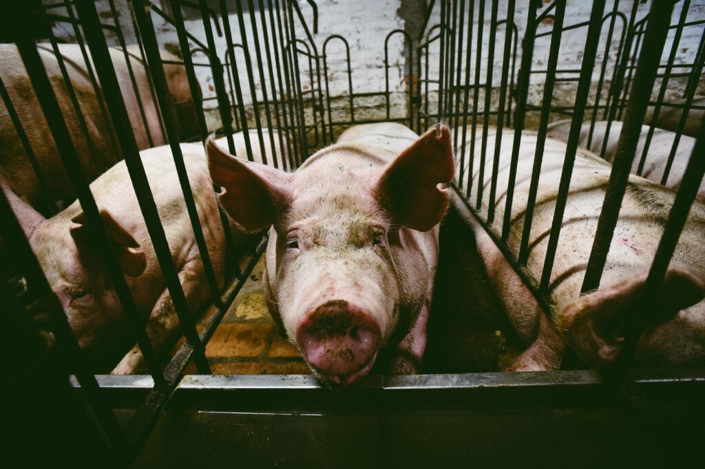 ¿Por qué el veganismo es una cuestión de justicia social?