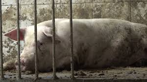 La Ley Gachuz- Vidaña = Explotación Animal