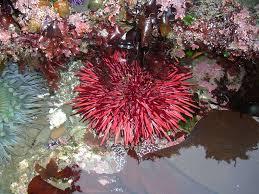 Inicia la veda de erizo rojo-langosta- tordillo y charal