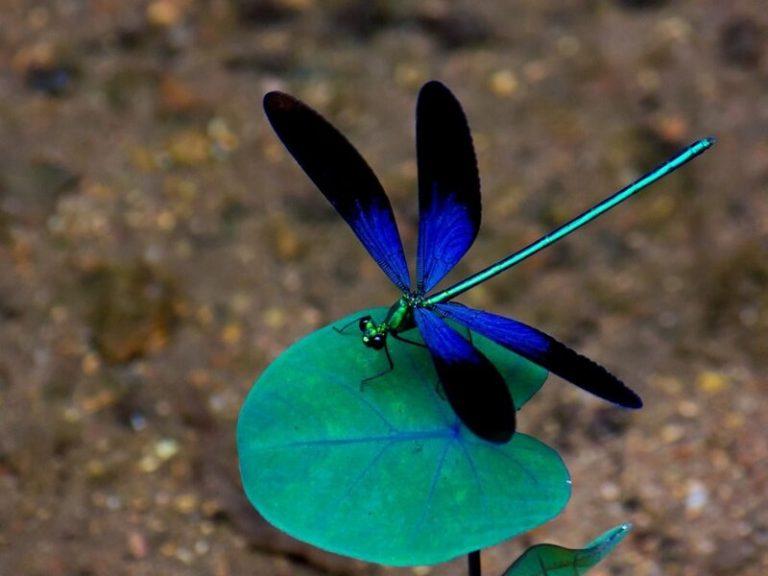 Una libélula puede matar 100 mosquitos en un día