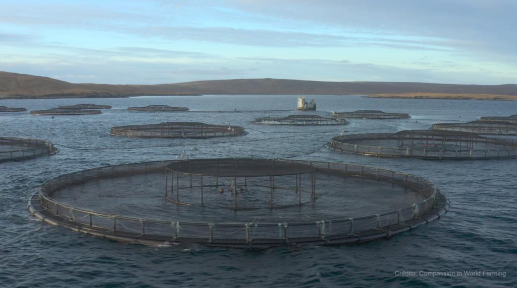México consume salmón escocés infestado de piojos