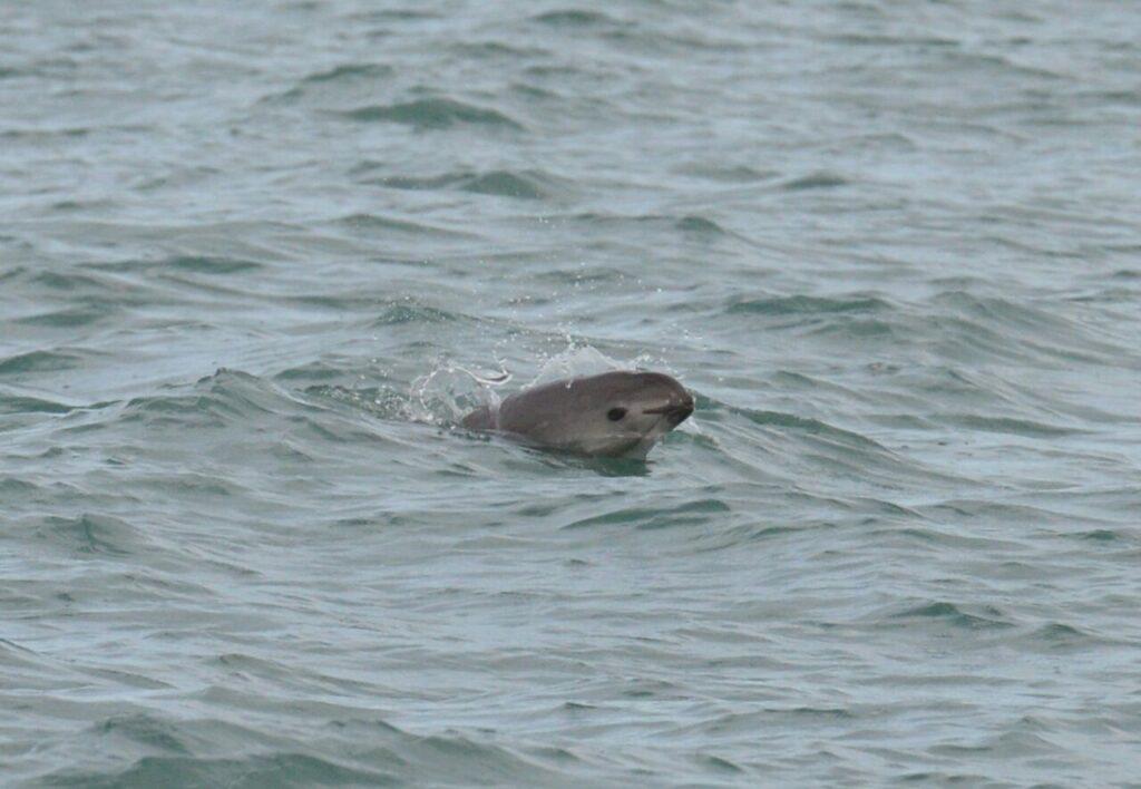 Exhortan sancionar a México  para salvar vaquita marina