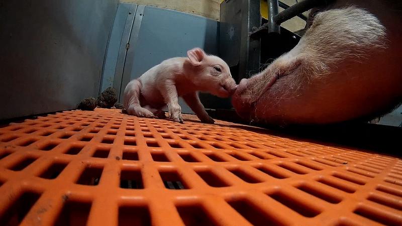 Cerdos son matados a martillazos