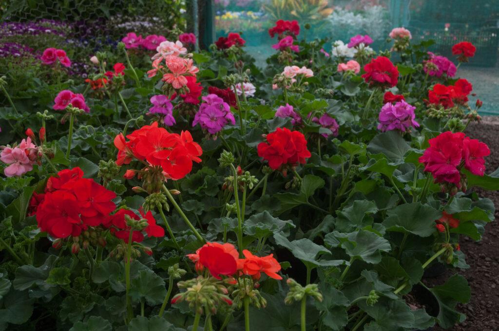 Lista la producción de flores para Día de las Madres