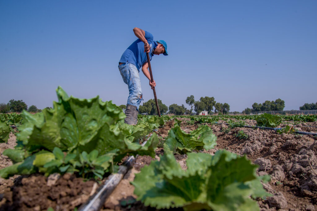 Al alza: producción y exportación de lechuga mexicana