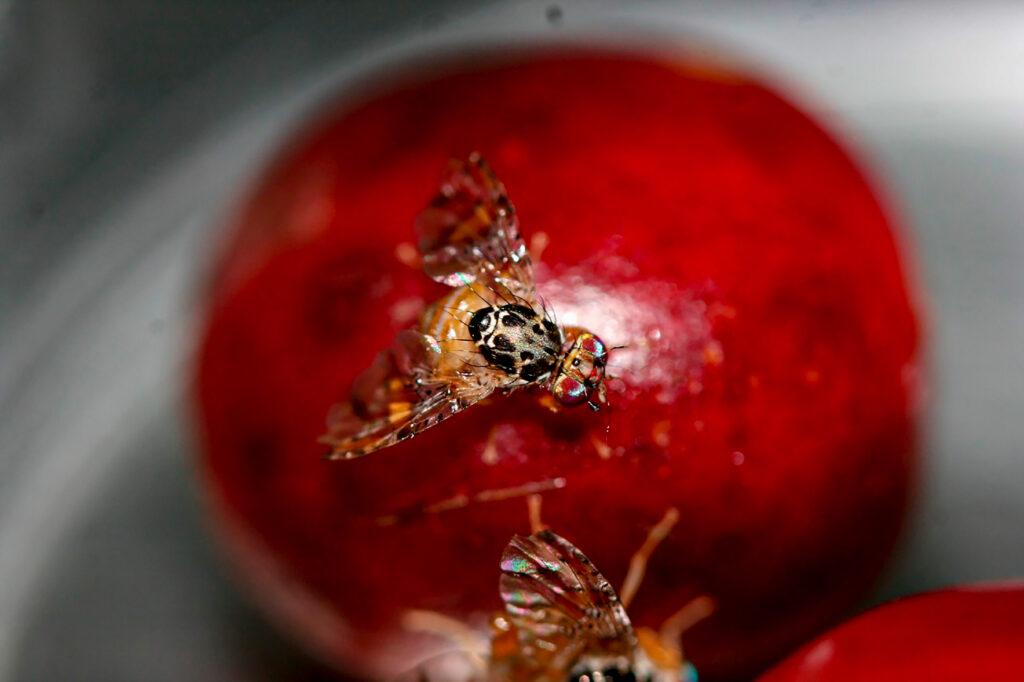 Protegen hectáreas de cultivos hortofrutícolas de mosca