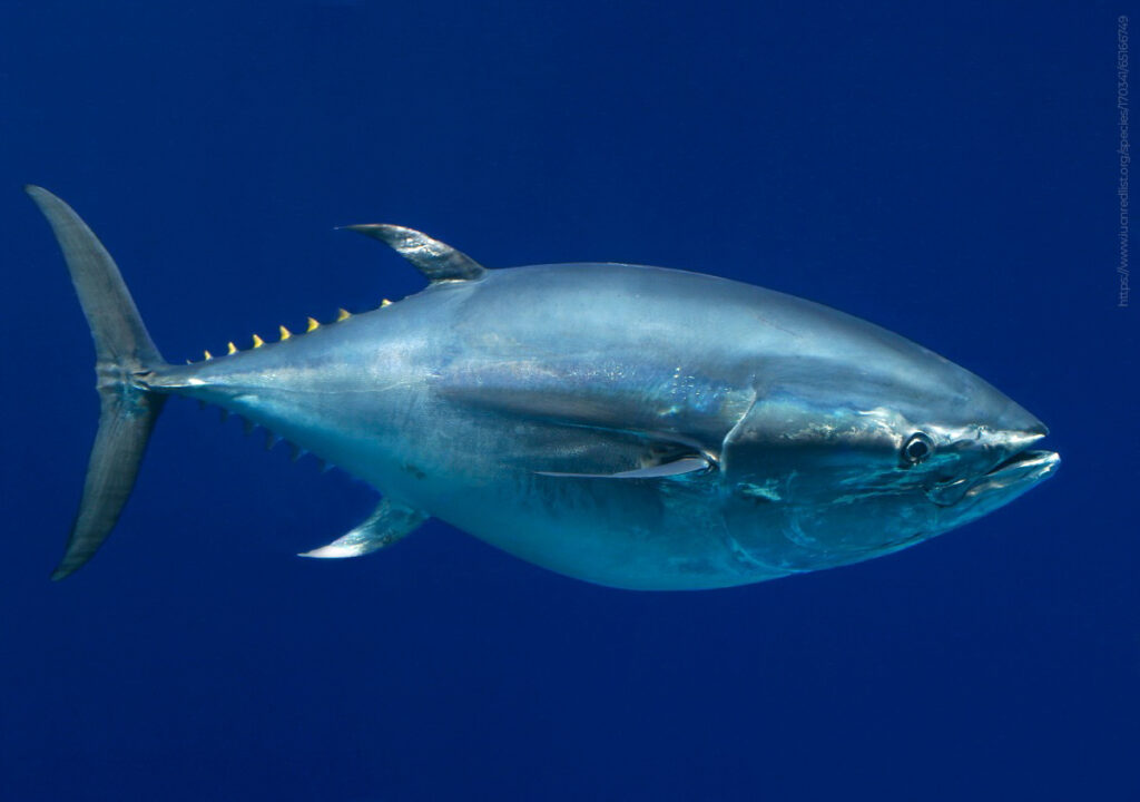 Establecen volumen de captura para atún aleta azul