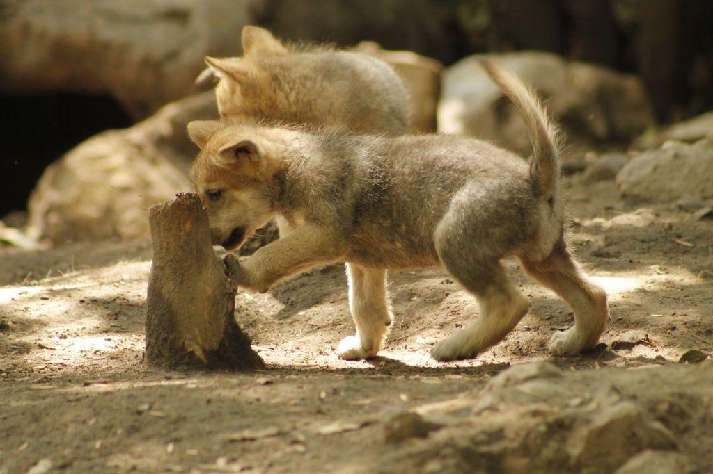 Nace camada de lobos mexicanos en Chapultepec