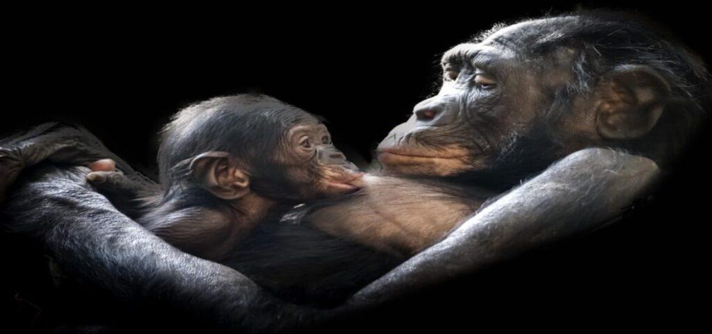 Grandes simios de África migrarían a las montañas