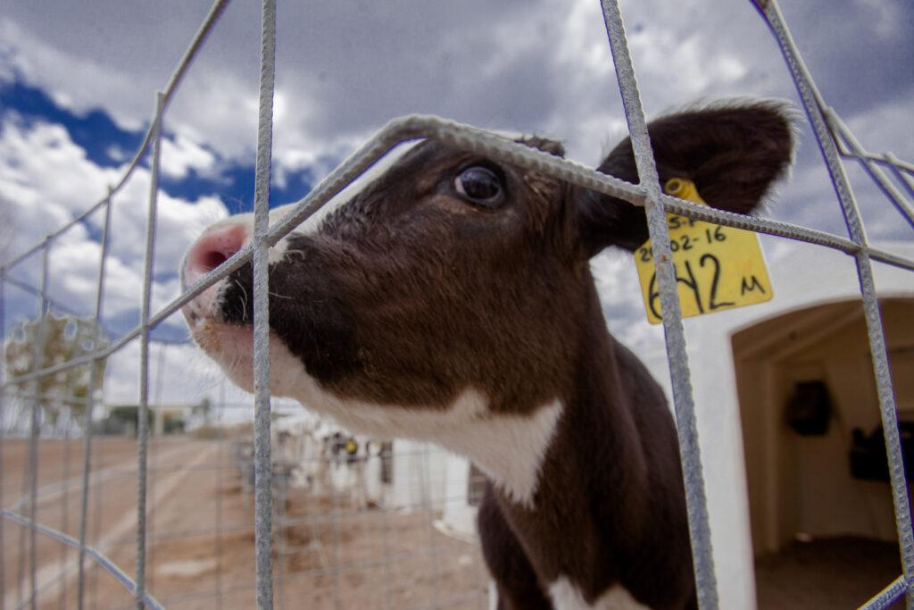 En sequía calabaza chihua: opción para alimentar  ganado