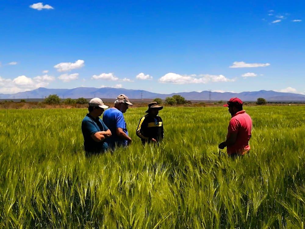 Biofertilizante aumenta en 55% utilidad en cebada