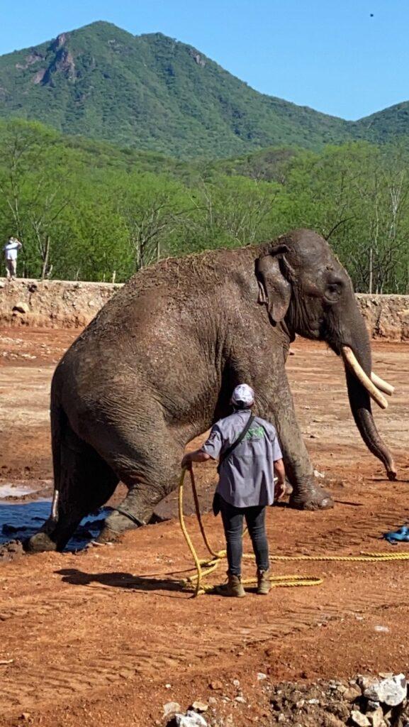 Inauguran Santuario Ostok con arribo de elefante Big Boy