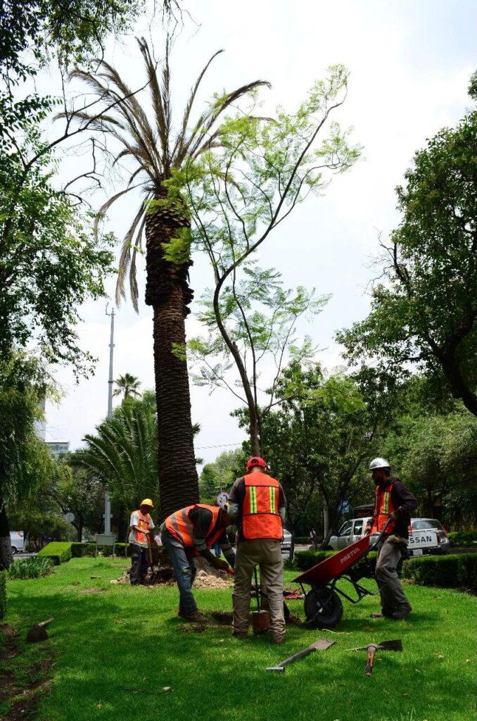 Sustituyen palmeras muertas en avenida de las Palmas